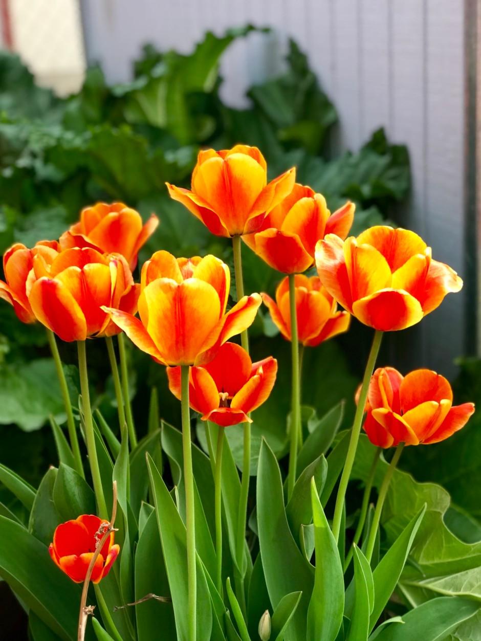 Tulips2018-2
